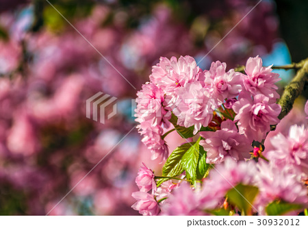 Sakura flower blossom in garden at springtime 30932012