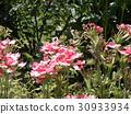 馬鞭草 花朵 花 30933934