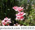 馬鞭草 花朵 花 30933935