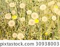 dandelions, blossom, summer 30938003