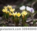 Spring, crocus, flowers 30940040