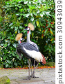 crowned, crane, cranes 30943039