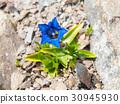 Beautiful blue trumpet of wild gentiana flower on 30945930