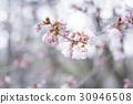 樱花 樱桃树 山桜 30946508