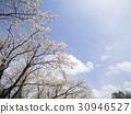 樱花 樱桃树 樱花盛开 30946527