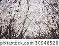 樱花 樱桃树 樱花盛开 30946528