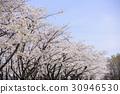 樱花 樱桃树 樱花盛开 30946530