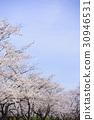 樱花 樱桃树 樱花盛开 30946531