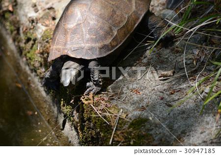 日本烏龜和日本石龜 30947185