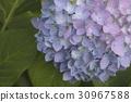 八仙花屬花特寫鏡頭 30967588
