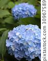 藍色繡球花 30967589