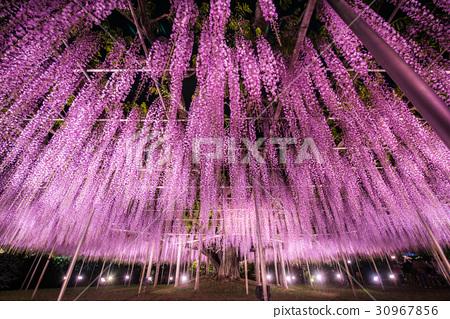 아시카가 플라워 파크 다이토 라이트 업 30967856
