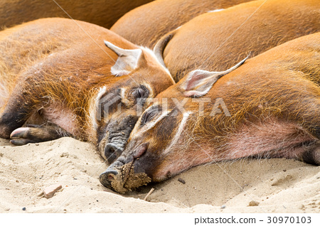 Wild africa pigs 30970103