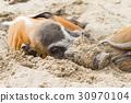 非洲 野猪 猪 30970104