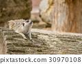 An looking meerkat 30970108
