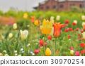 tulipa, red, brick 30970254
