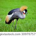Crowned Crane 30970757