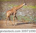 Masai giraffe 30971090