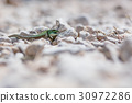portrait of green lizard on rocks and stones 30972286