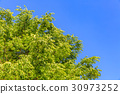 tender green, verdure, blue sky 30973252