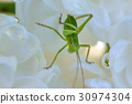 Macro shot of a green grasshopper with water drops 30974304