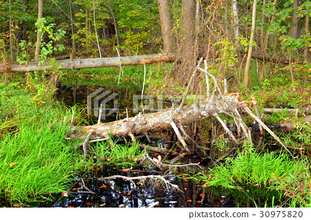 Swamp in forest at early autumn. 30975820