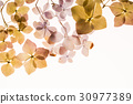 dry hydrangea 30977389