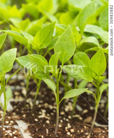 잎,고추 30983882