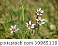 꽃, 플라워, 붓꽃과 30985119