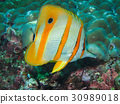 Copperbanded Butterflyfish in the coral reef 30989018