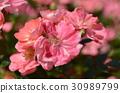 Pink Rose Flower 30989799