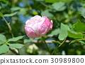 rose 30989800