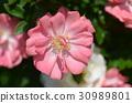 rose 30989801