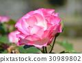 rose 30989802