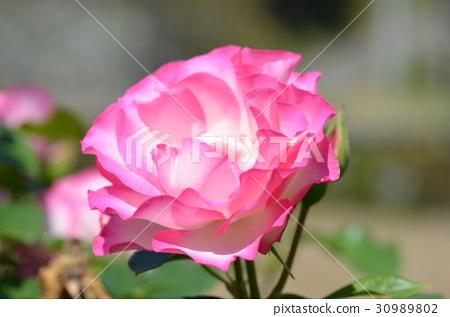 장미 꽃 30989802