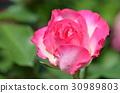 rose 30989803