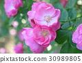 rose 30989805