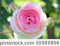 rose 30989806