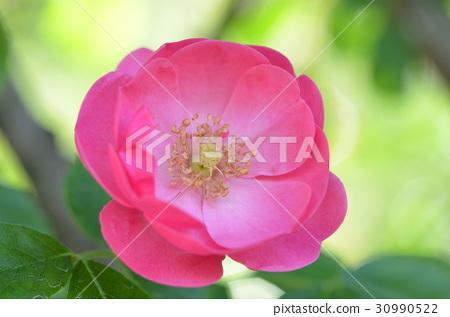 rose 30990522