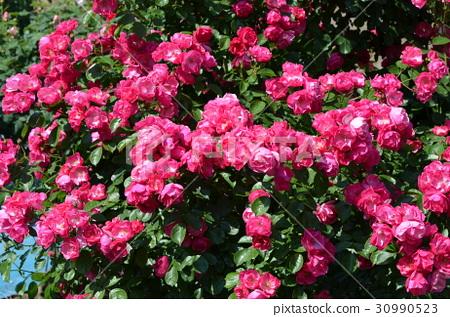 rose 30990523