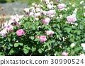rose 30990524
