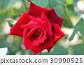 Red Rose Flower 30990525