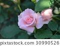 rose 30990526
