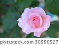 rose 30990527