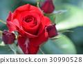 rose 30990528