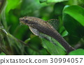 熱帶魚 魚 淡水魚 30994057