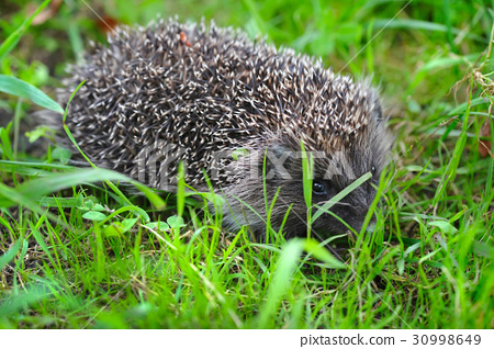 Western European Hedgehog (Erinaceus) in a grass 30998649