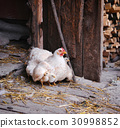 Hen with chickens 30998852