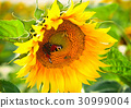 Sunflower flower in the sunlight with butterfly 30999004