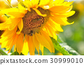 Sunflower flower in the sunlight close-up with bee 30999010
